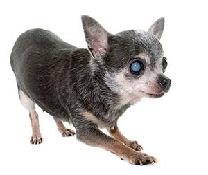 ご存知ですか 犬の認知症 日本動物医療センター