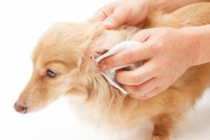 犬の耳が汚い、臭いのはなぜ?